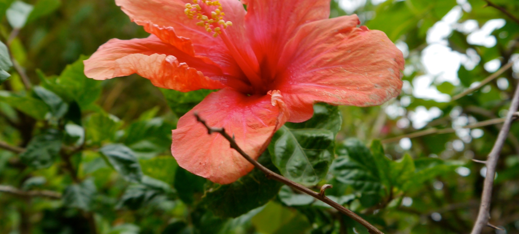 Red Hibiscus Distant Drumlin