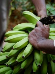 cutting bananas