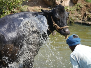Water splash on cow