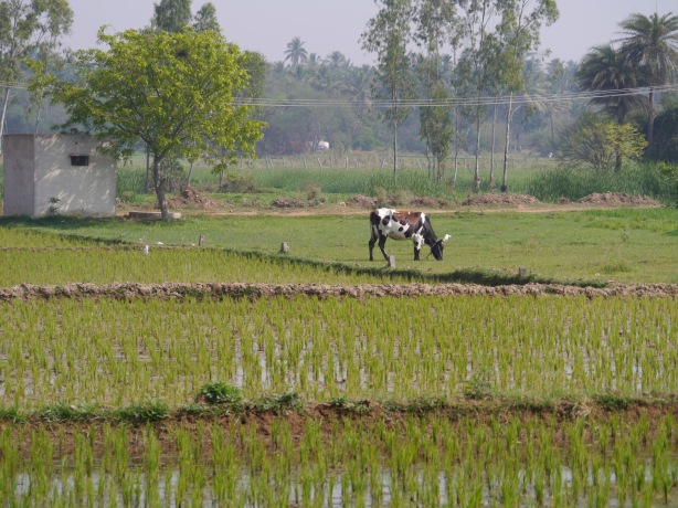 Cow in rice field