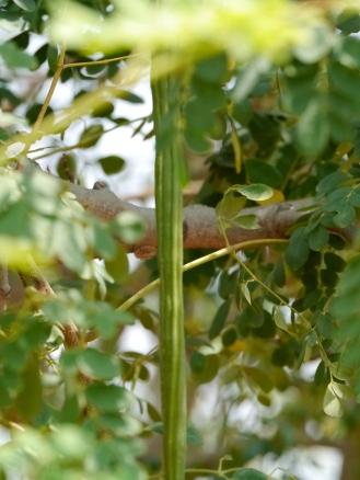 Moringa drumstick