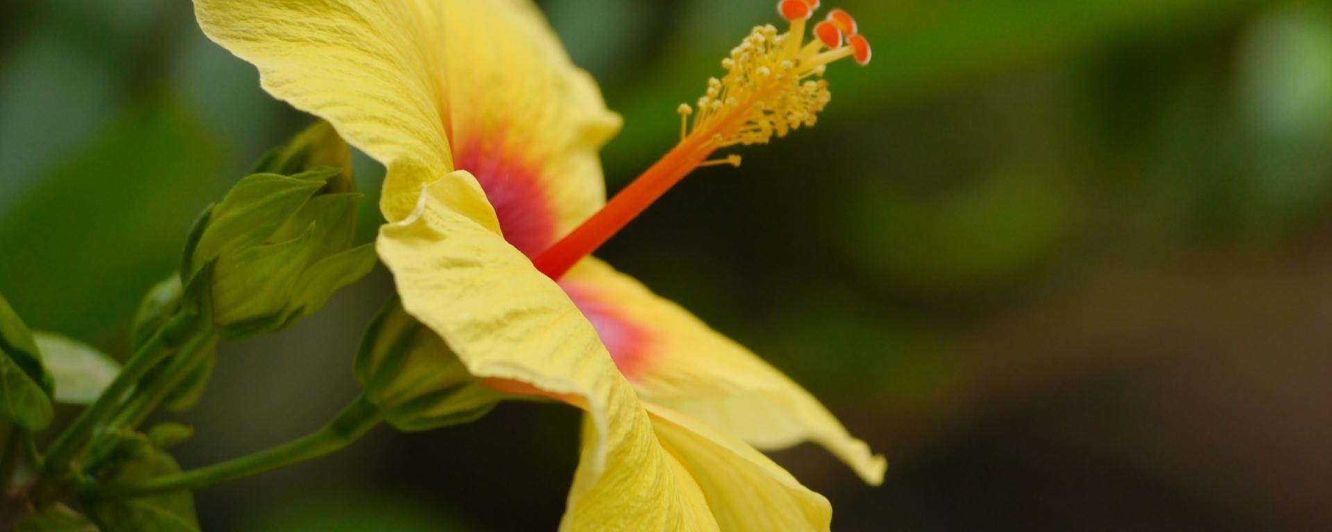 Yellow Hibiscus Distant Drumlin