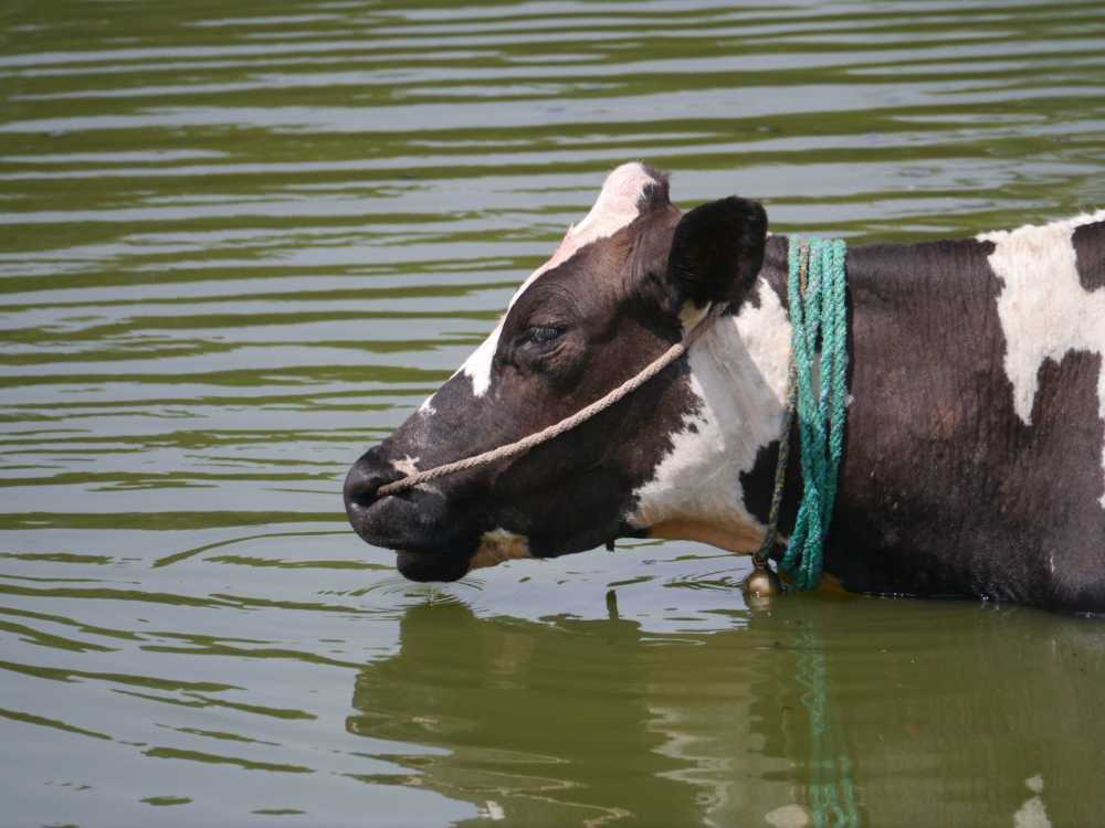 Cow in Varthur Lake