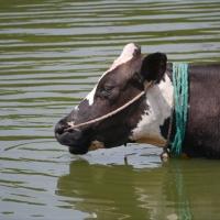 Cows in Varthur Lake