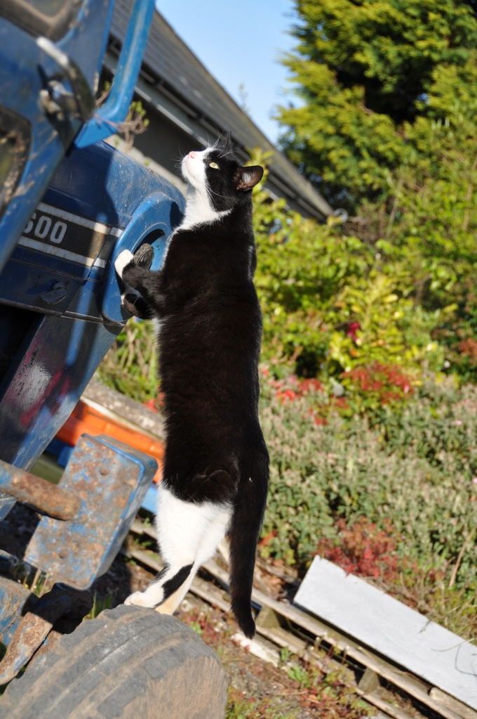 Cat on tractor wheel