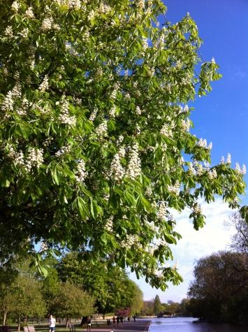 horse chestnut regents park