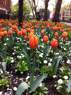 mayfair tulips