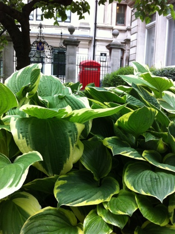 Hosta and phonebox at Drapers Hall