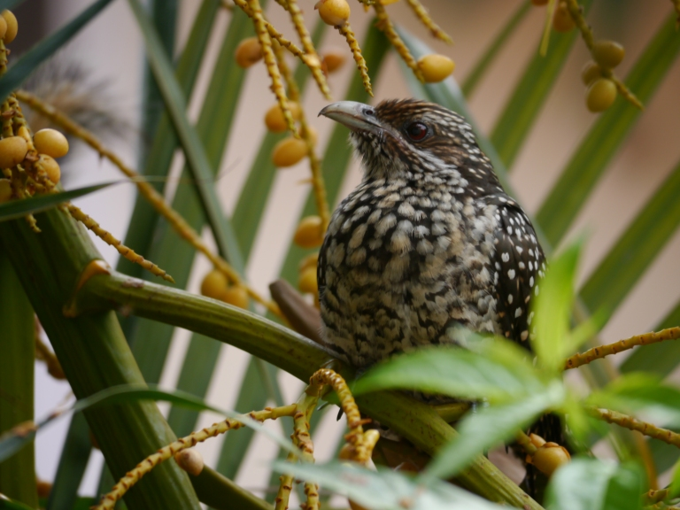 Tentatively identified as a  juvenile Asian Koel