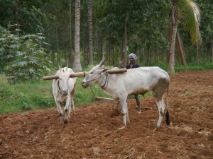 oxen turning