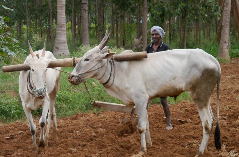 Oxen turning crop