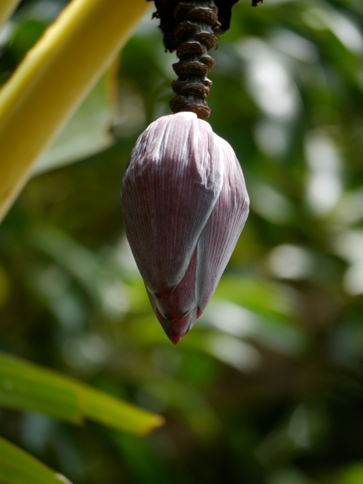 Banana flower in our garden