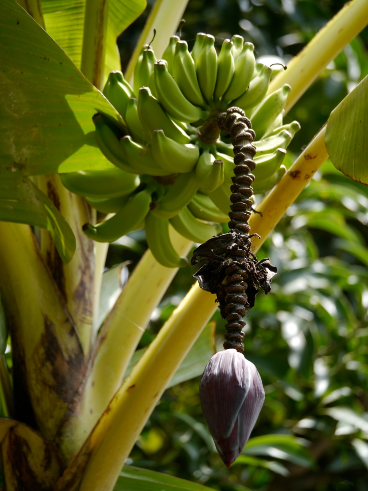 Bananas in garden with flower
