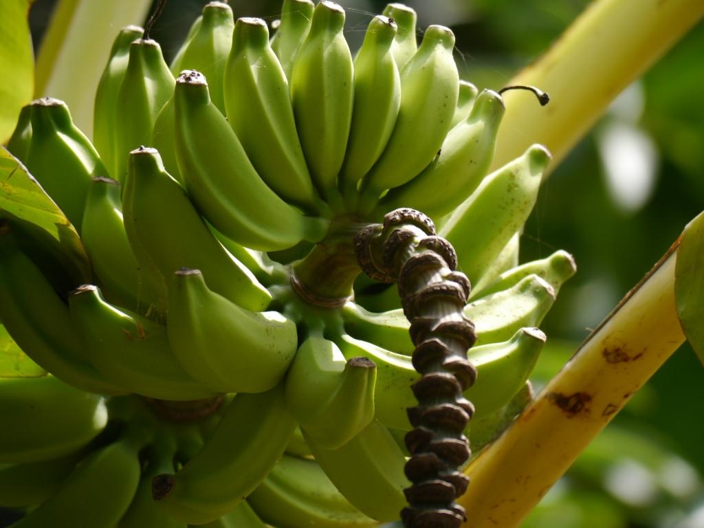 Bananas closeup