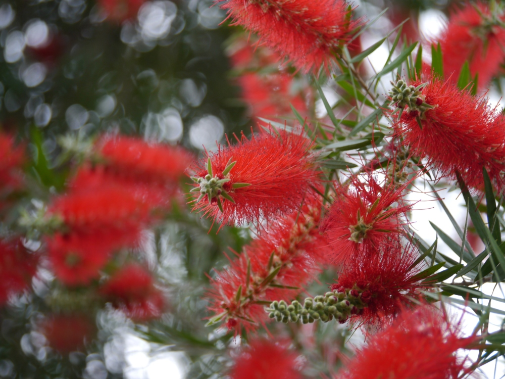 Bottlebrush 2013
