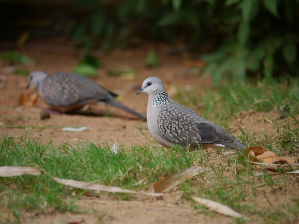 spotted doves x 2
