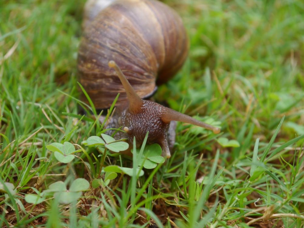 snail in clover