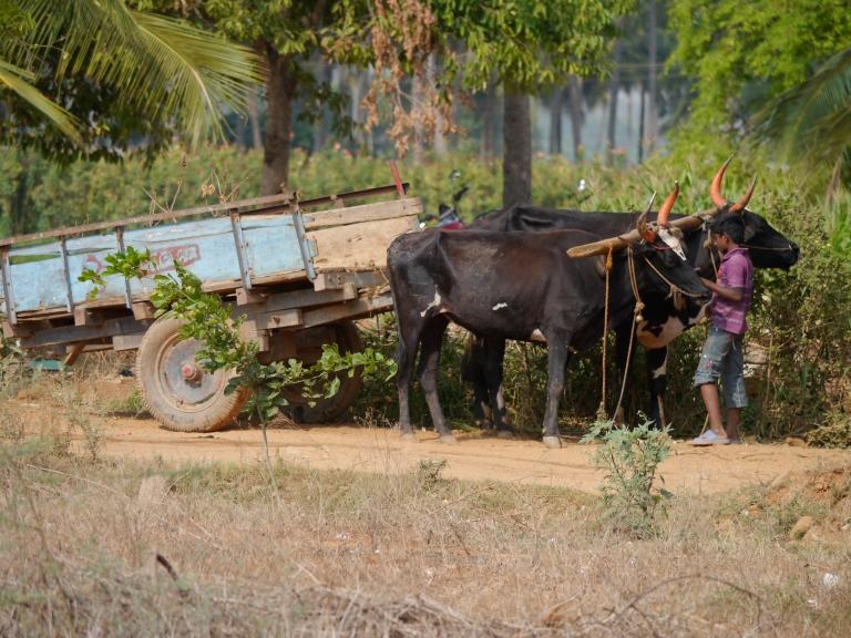 Siddapura Bullock Cart