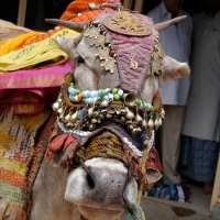 Last Look at Indian Cattle