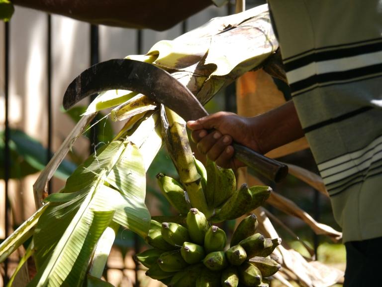 sickle cutting banana branch