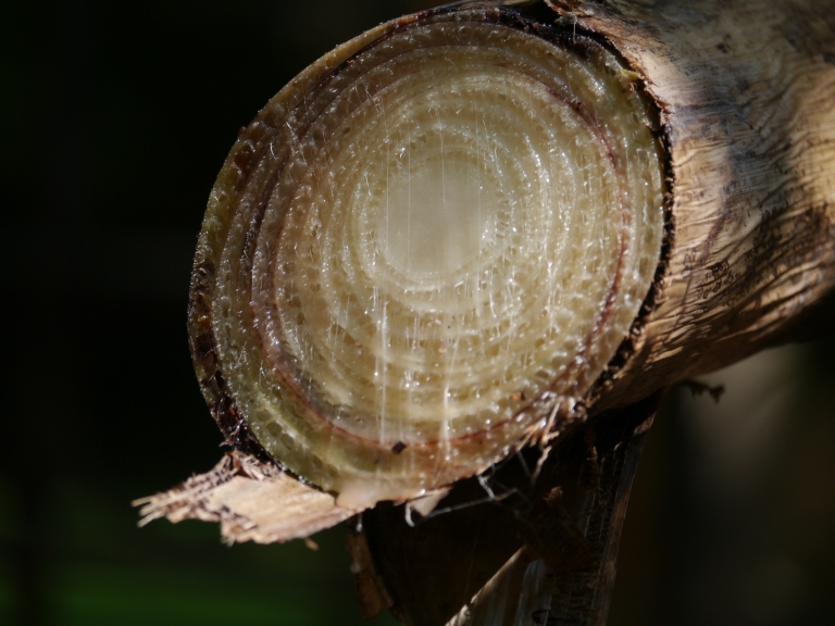 stalk cross-section