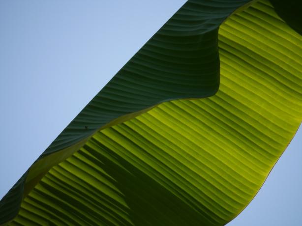 abstract banana leaf