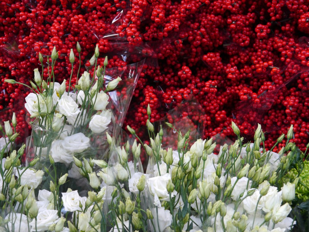 ilex roses