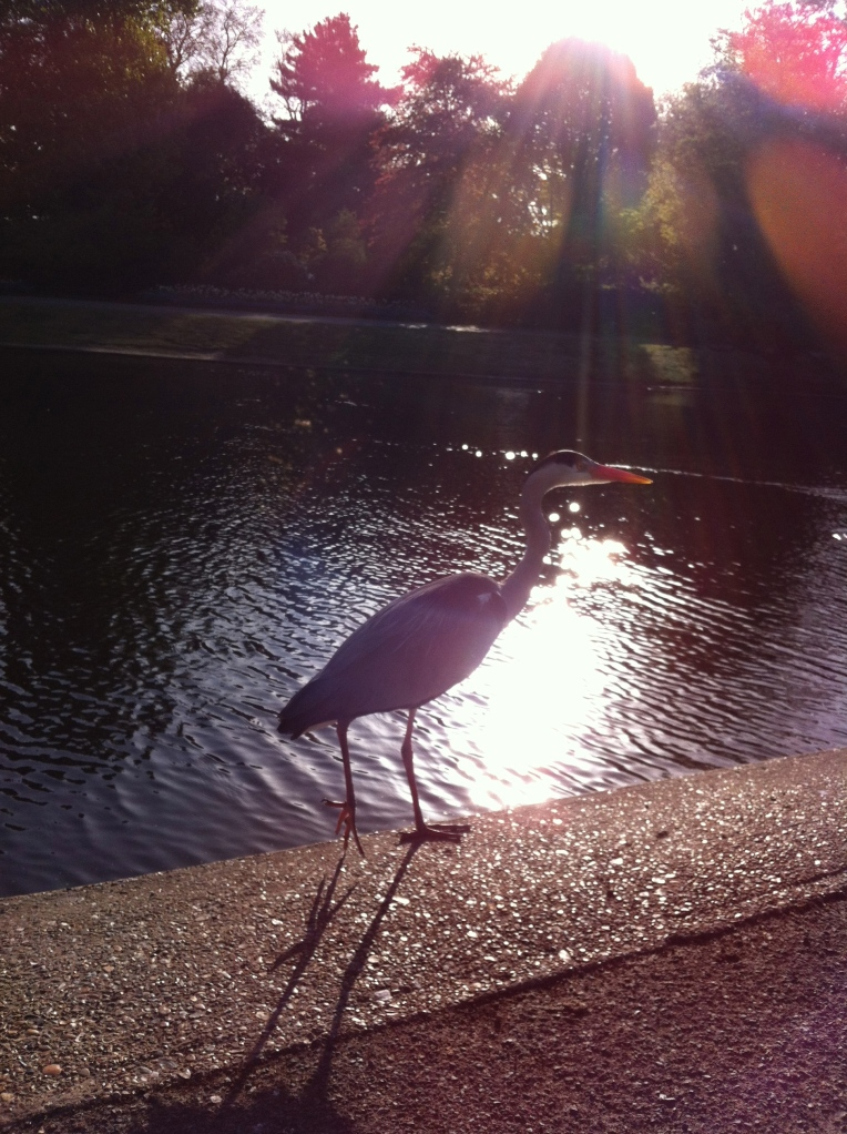 Heron in Regent's Park enjoying the May sunlight