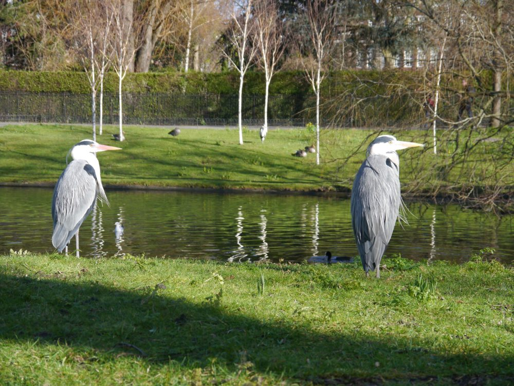 Two grey herons in Regent's Park in February.