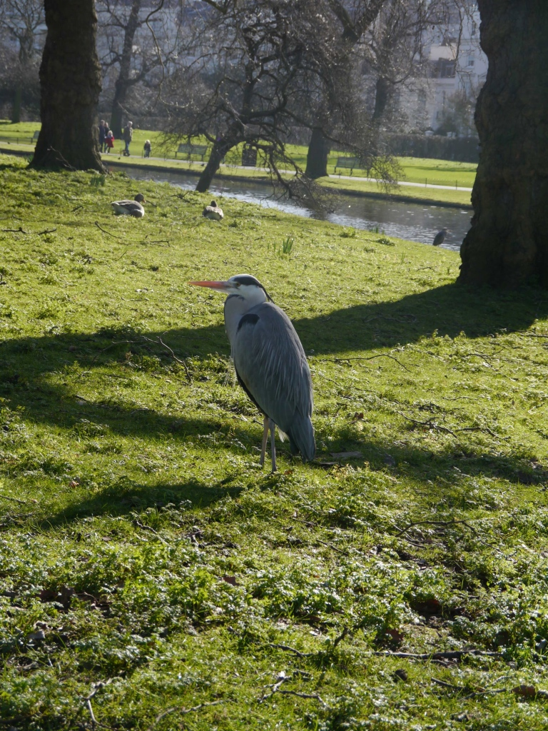 One grey heron in Regent's Park in February.