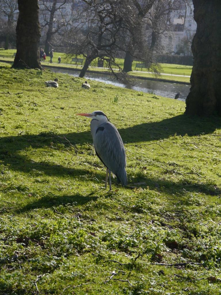 One grey heron in Regent's Park in February.