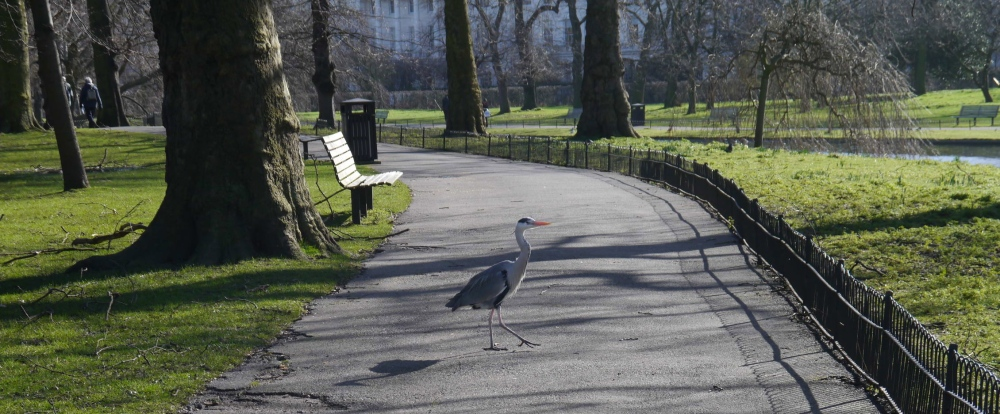 Heron crossing path in Regent's Park