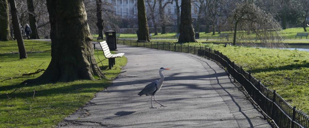 Heron crossing path in Regent's Park