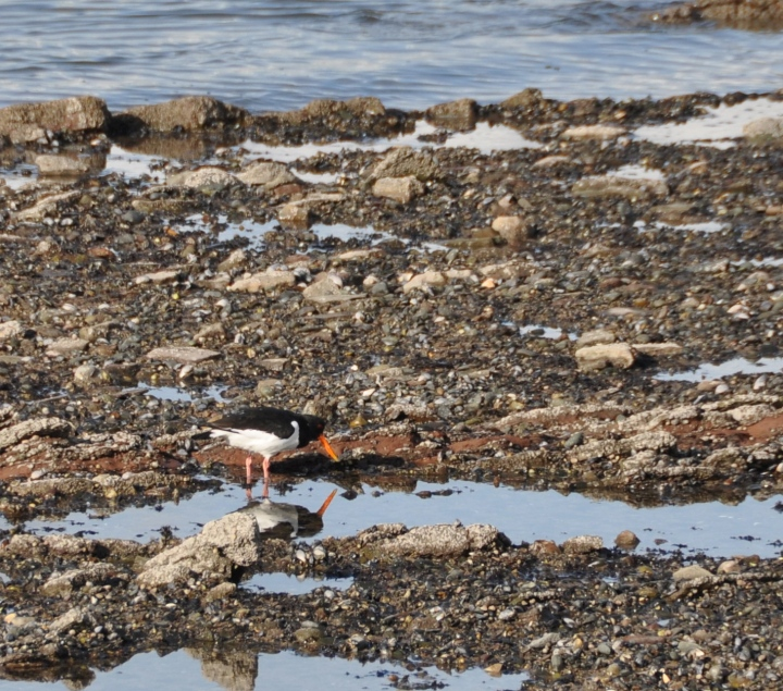 OYSTERCATCHER and reflection.