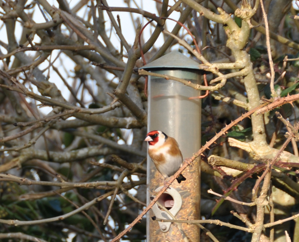 Single Bullfinch at Feeder