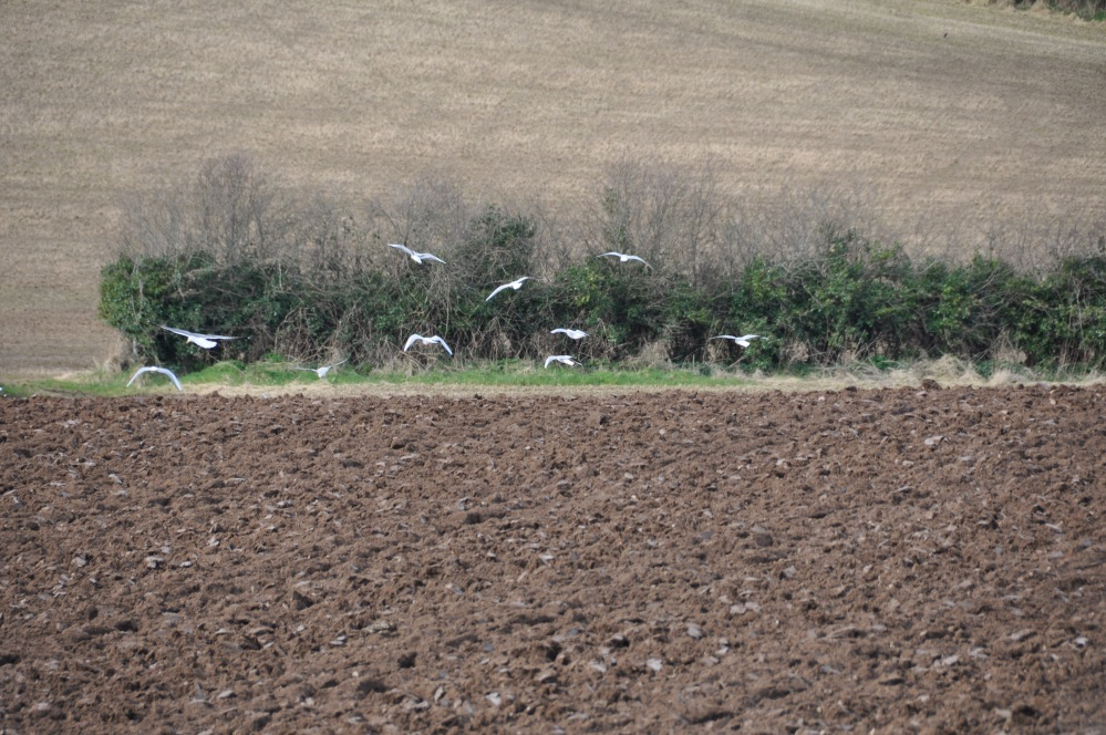 seagulls on ploughed ground