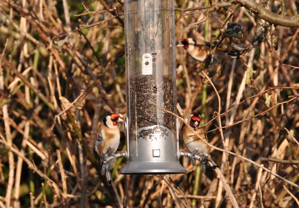 Three Goldfinches at Feeder