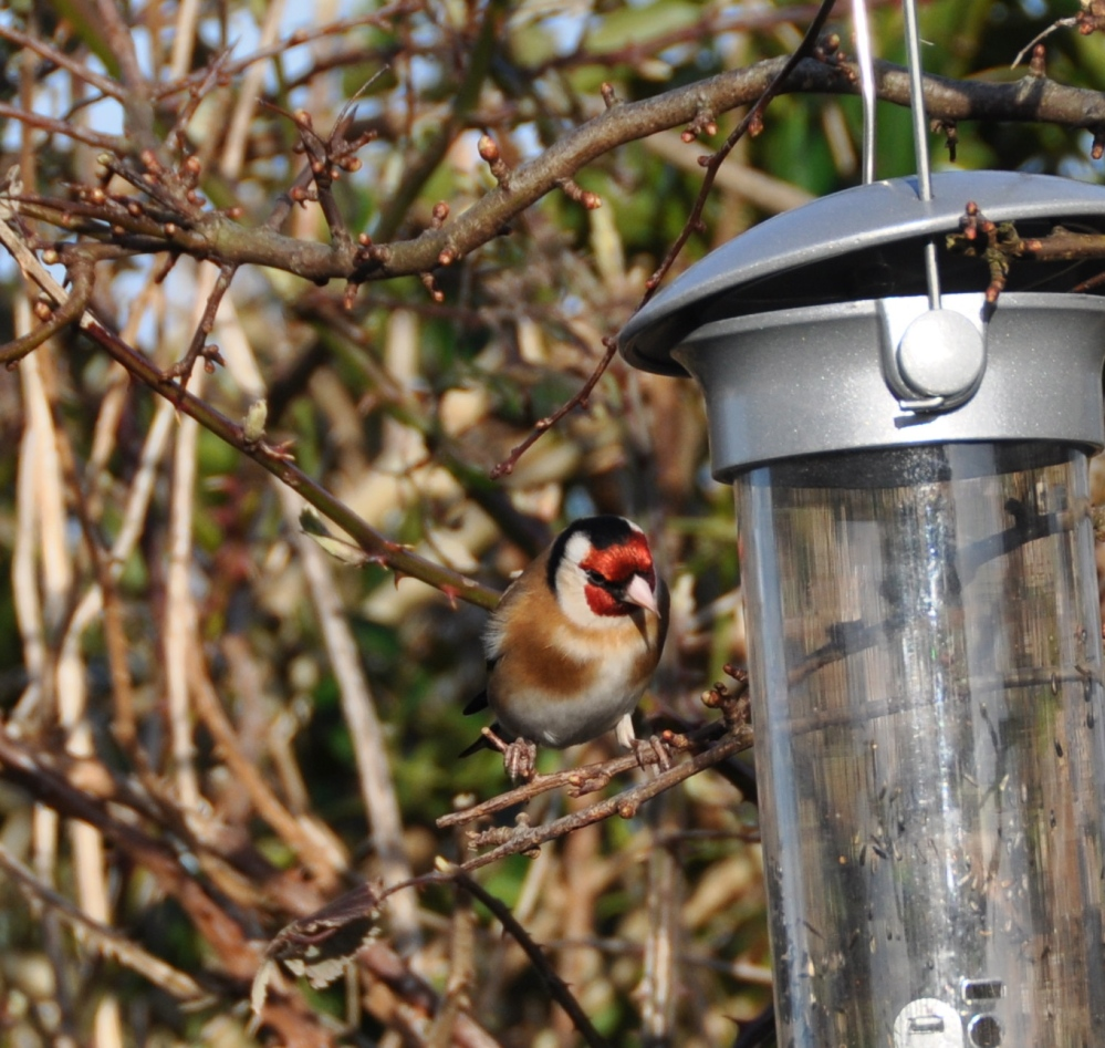 Goldfinch looking at camera