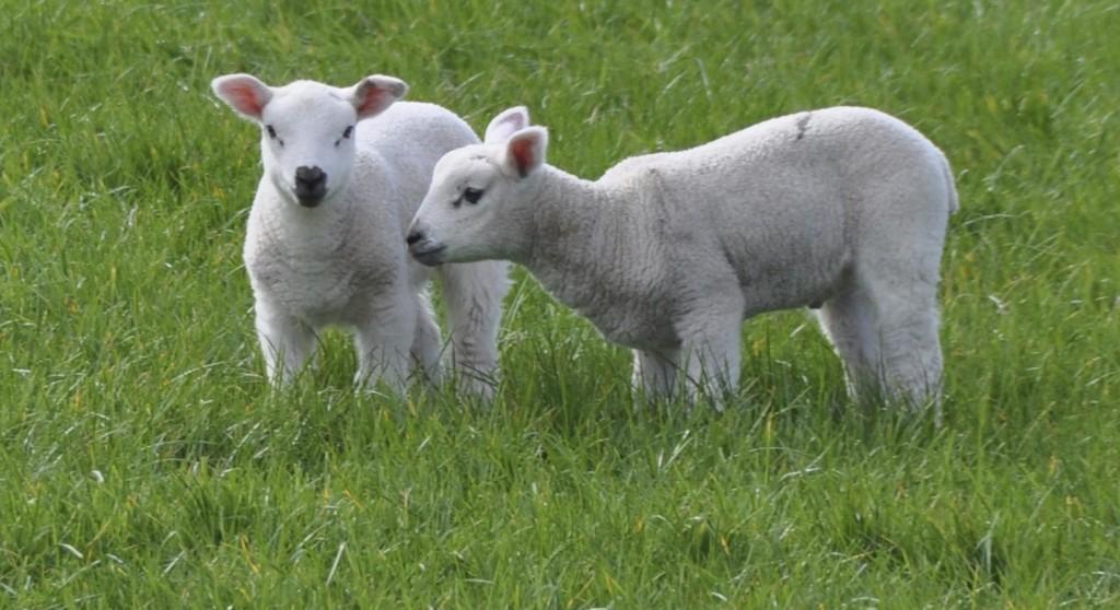 2 lambs - Version 2