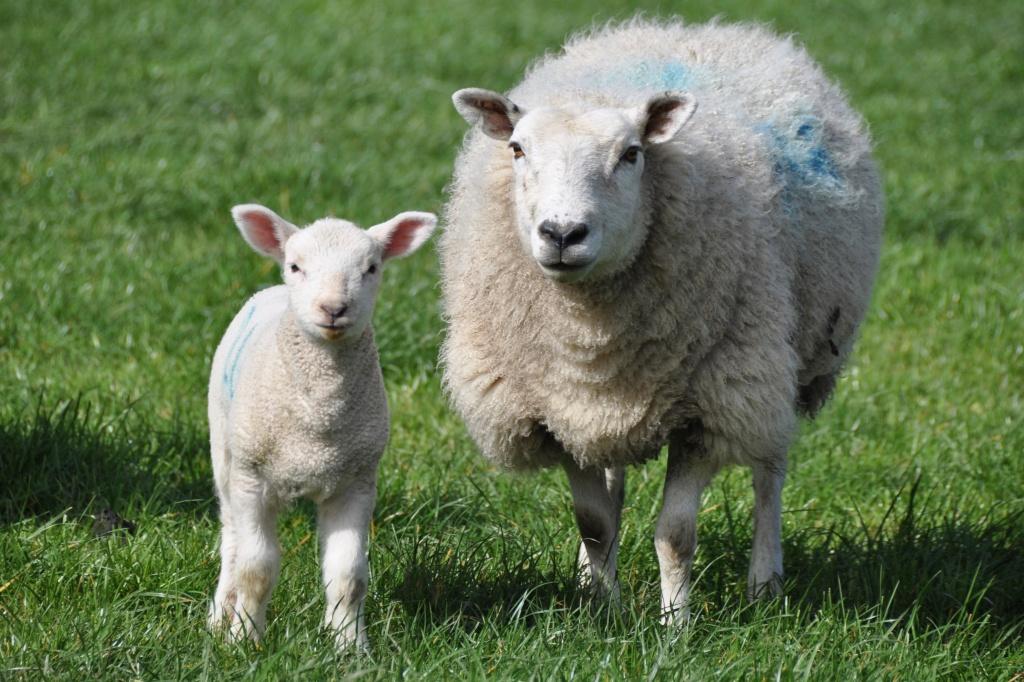 ewe and lamb - Version 2