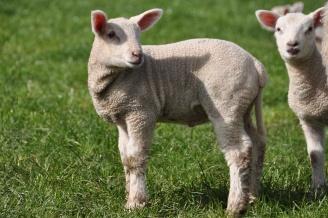one lamb turning