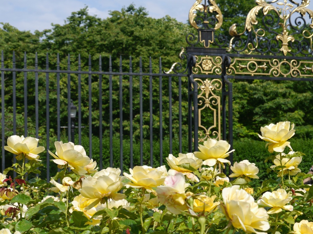 Queen Mary's Garden (yellow roses)