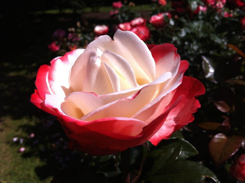 red & white rose in blefast