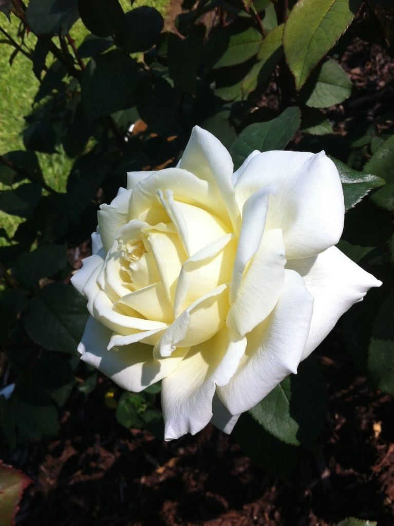white rose in belfast