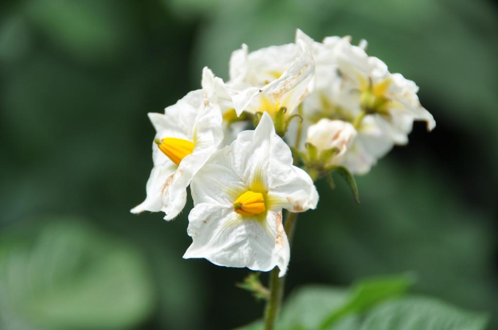 flowers on potato plant