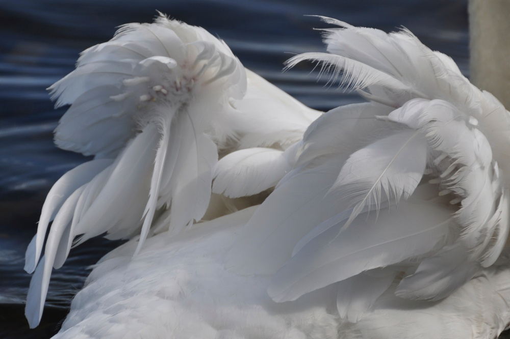 Loch Lomond Swan wings