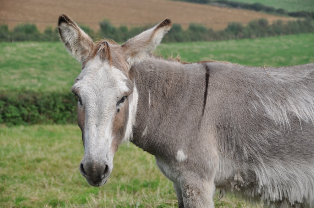 grey donkey with cross