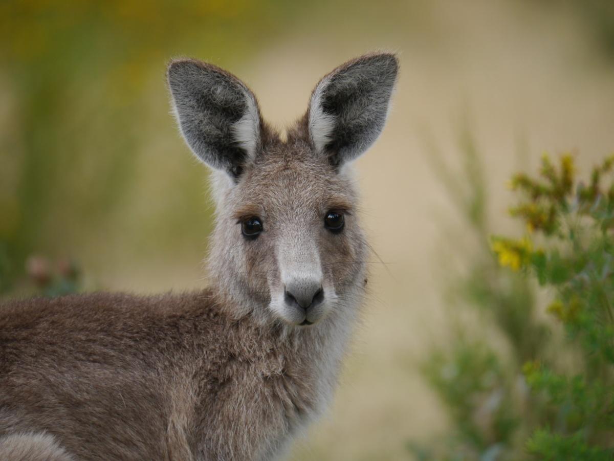 Kangaroos in Tidbinbilla