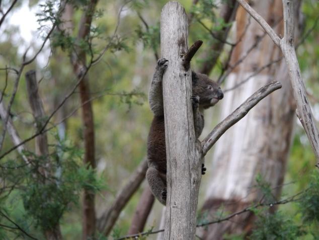 koala climbing looking