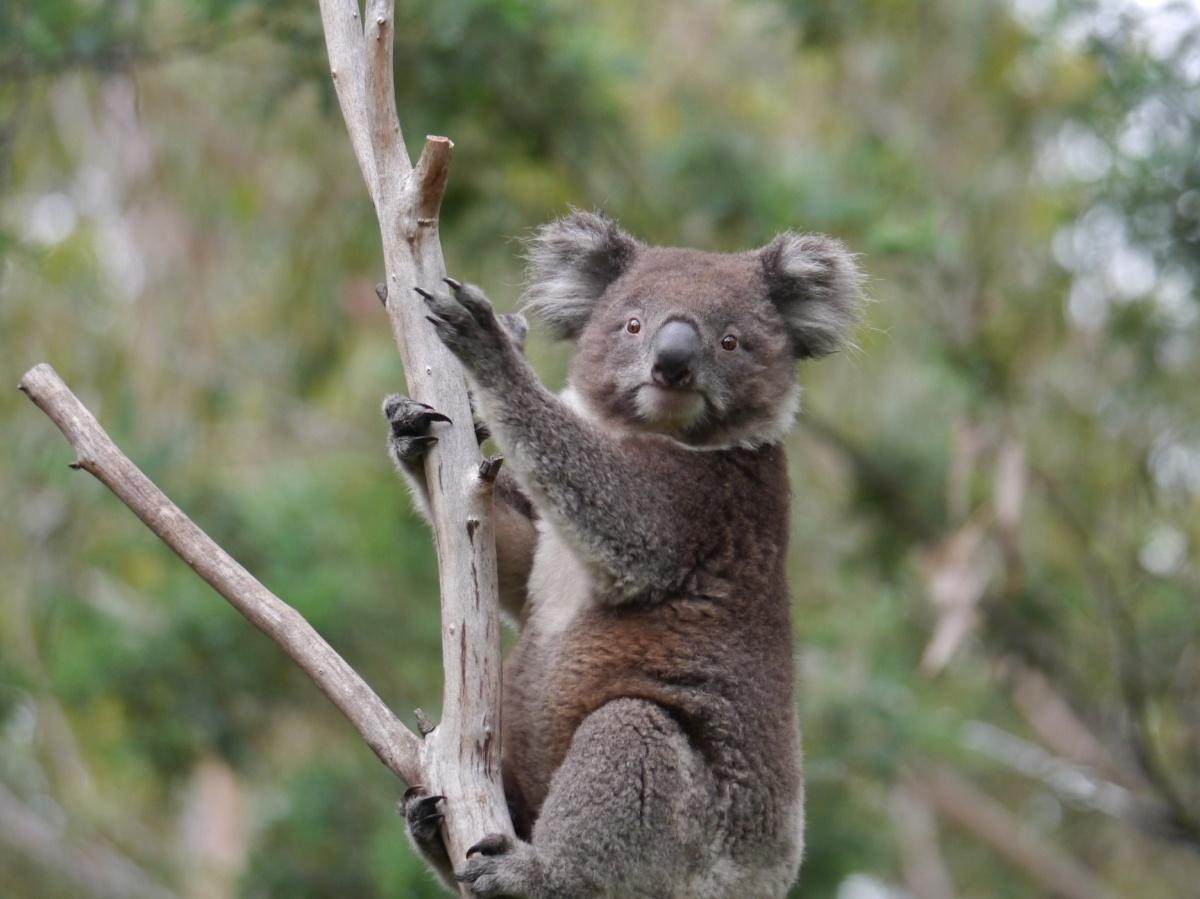 The Koala and the Brolga